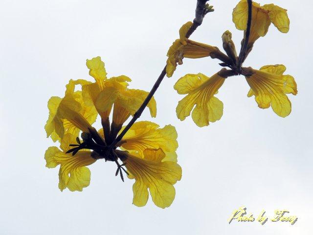 イペの花2