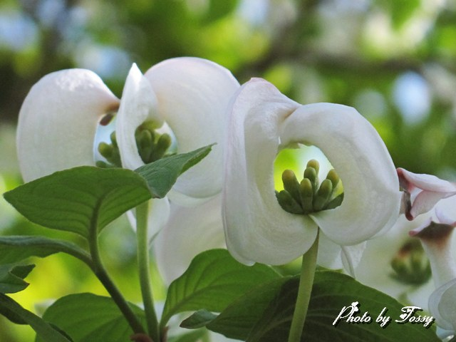 ハナミズキ 白花3