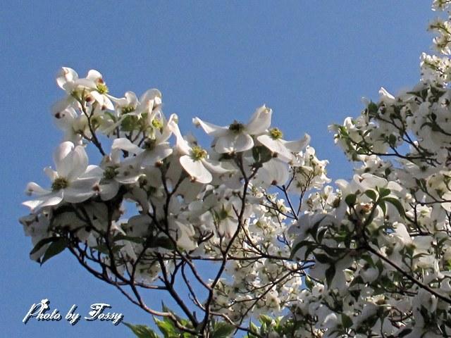 ハナミズキ 白花4