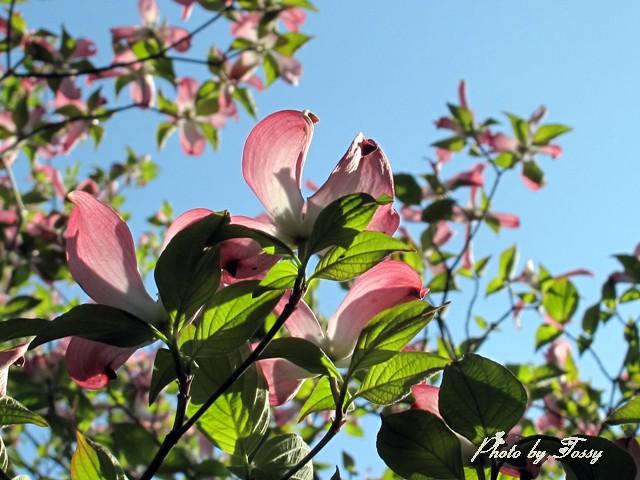 ハナミズキ ピンク4