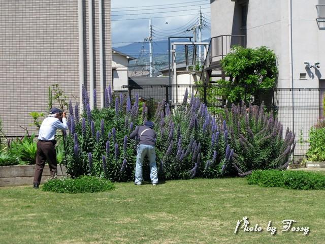 エキウム・カンディカンス花壇