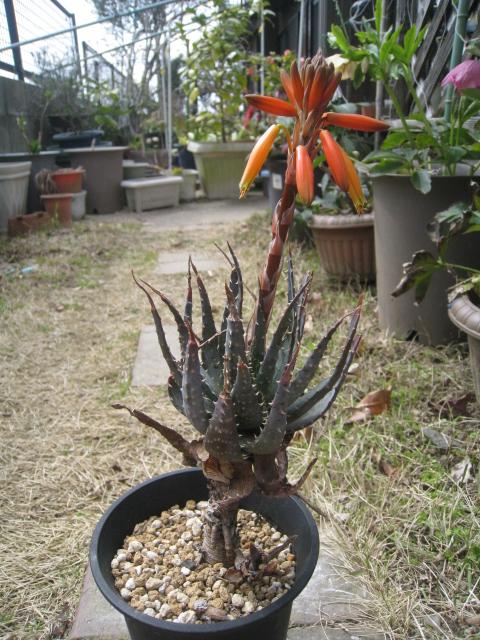 20120320交配種花2