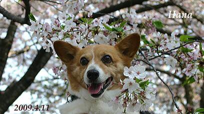 2009.4.11桜