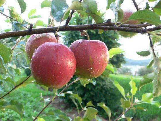 林檎の唄・デュエット