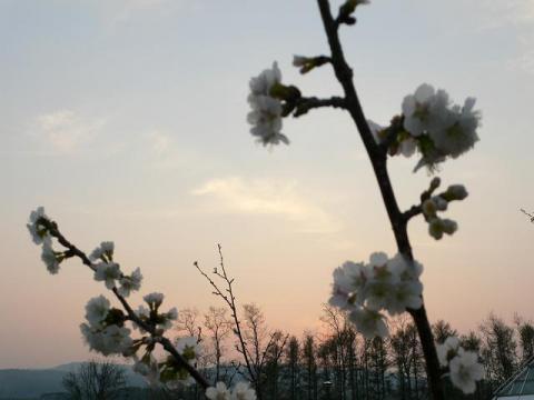 桜色にじむ空