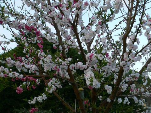 夕陽丘の桜の木