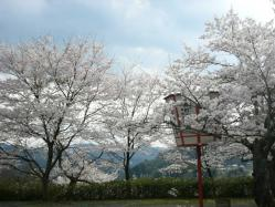 20100406城址公園の桜