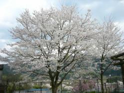 20100406小学校の桜