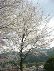 20100406小学校の桜2