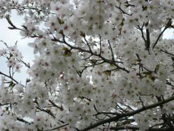 20100406小学校の桜3