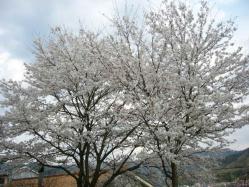 20100406小学校の桜5