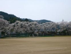 20100406小学校の桜6