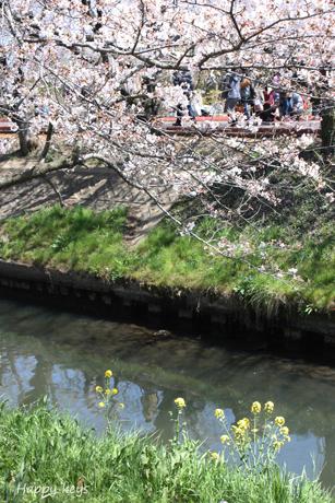 川沿いの桜2