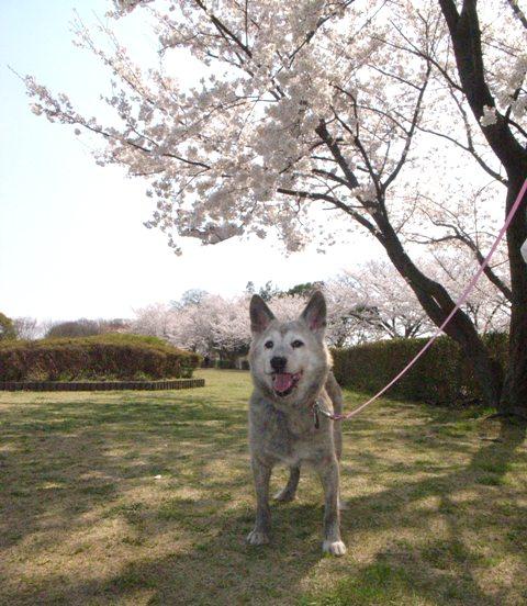 桜とマールさん