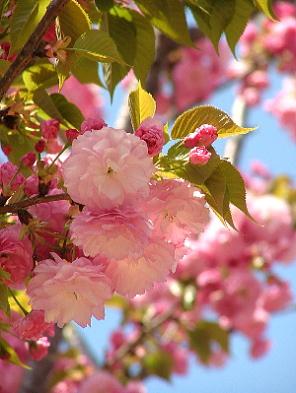 今年の桜「紅華(こうか)」