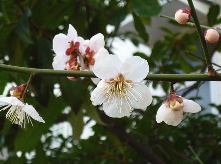 梅が良い香り(^^)