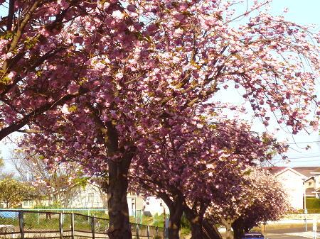八重桜って結構もつんだね