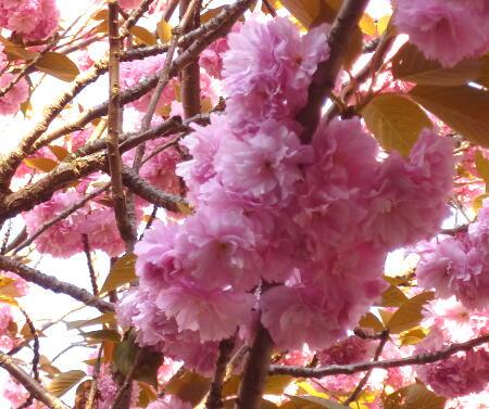 モコモコ桜♪