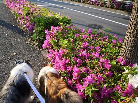 神奈川県の花だっけ?