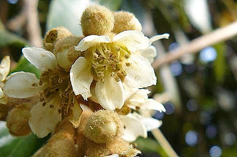 11月に咲き始めたビワの花♪