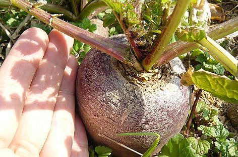 紫色の大根♪