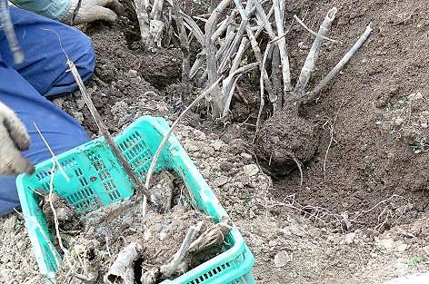 種芋は土手ほ掘って♪