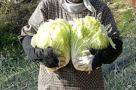 白菜2個♪