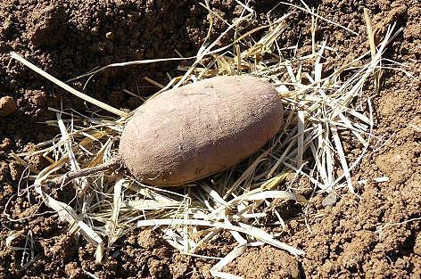 種芋の下にはワラのベッド♪