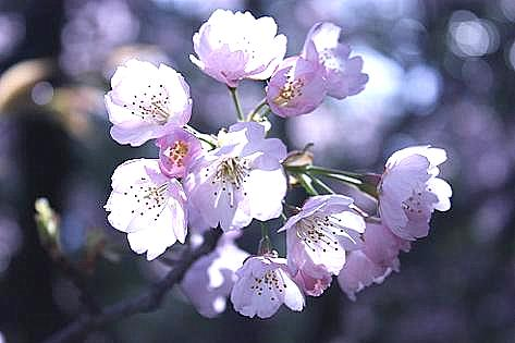 満開の河津桜?