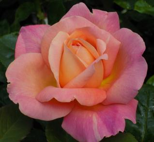 rose_20120329154619.jpg