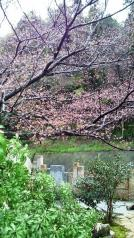 実家の桜 開花宣言