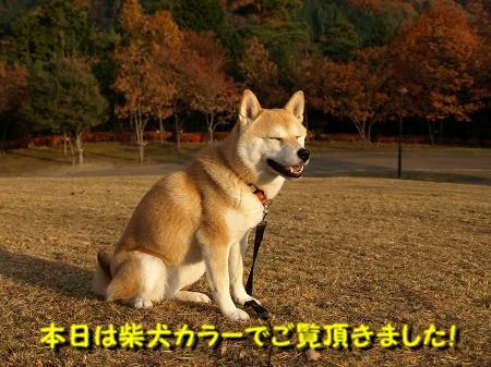 柴犬カラーの世界です!