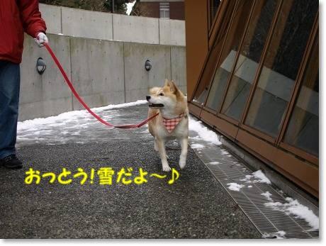 雪に喜ぶさくら!