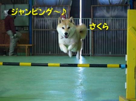 ジャンピング~さくら!