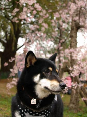 あいちゃんと桜
