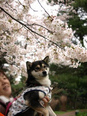 さくらちゃんと桜