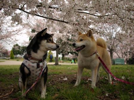 さくらちゃん&さくら&桜