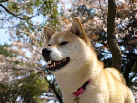 さくらと桜!