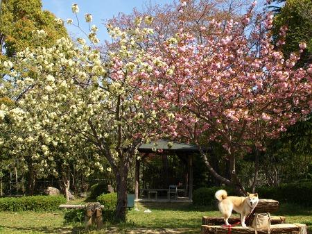 八重桜満開~