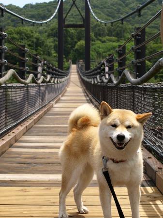 さくら INつり橋♪