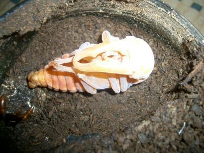 アドゥンクス蛹