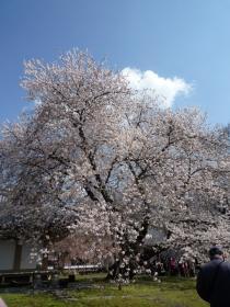 醍醐の桜2