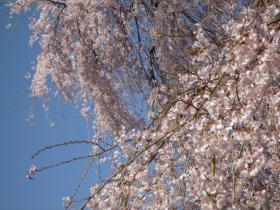 醍醐の桜3