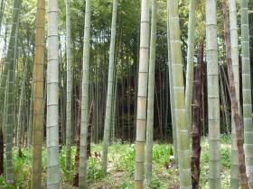 鎌倉建長寺の竹林