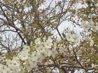 大浜公園 桜