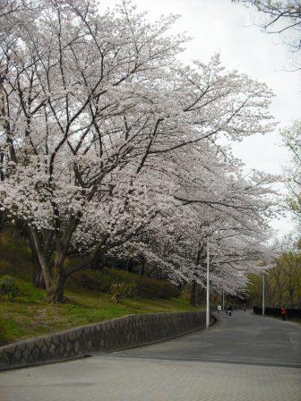 公園のサクラ並木