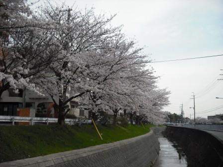 川沿いのサクラ並木