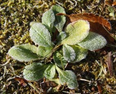 霜の葉っぱ1