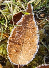 霜の葉っぱ2