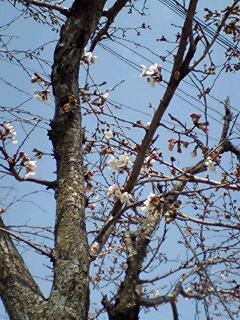 070329桜①